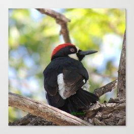 Acorn Woodpecker in Malibu Canvas Print