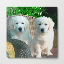 White Golden Retriever Dogs Sitting in Fiber Chair Metal Print