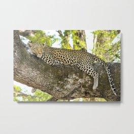 A Leopard's Gaze Metal Print