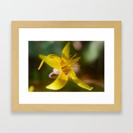 Trout Lily Framed Art Print