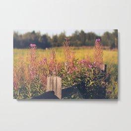 Fall Fireweed at Creamers Field, Fairbanks Alaska Metal Print