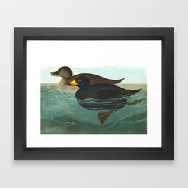 Scoter Duck Vintage Scientific Bird & Botanical Illustration Framed Art Print