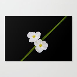 Pure Beauty Canvas Print