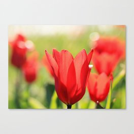 Red tulips in backlight Canvas Print