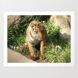 Young Tiger Art Print