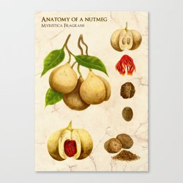 Anatomy of a Nutmeg Canvas Print