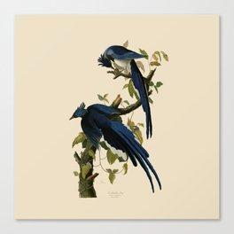 Columbia Jay Illustration by J.J. Audubon Canvas Print