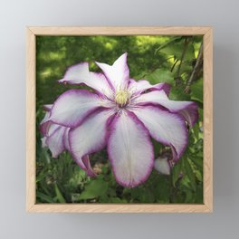 Clematis - Stunning two-tone flowers Framed Mini Art Print