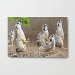 Meerkats - We're on the Lookout Metal Print