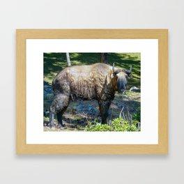 Takin: Bhutan national animal Framed Art Print