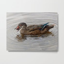Wood duck foraging Metal Print