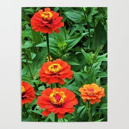 Zinnia All Aglow Poster