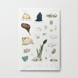 Sea squirt varieties set  from Mollusca  Shells by Augustus Addison Gould Metal Print