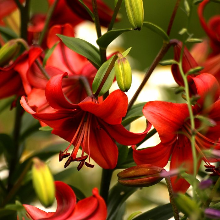 Red Lilies  Comforters