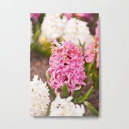 Hyacinthus flowering cluster pink Metal Print