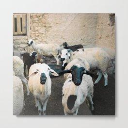 Sheep in Morrocan desert (color) Metal Print