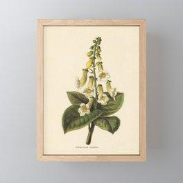1800s Encyclopedia Print of Flower (Achimenes Amabilis) Framed Mini Art Print