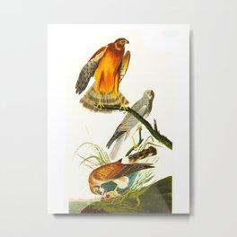 Marsh Hawk Metal Print