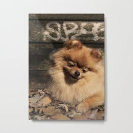 Pomeranian dog in the autumn sun Metal Print