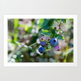 Blueberry Farm Art Print