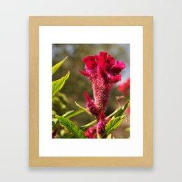Cockscomb  Framed Art Print