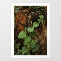 Edible Malabar Spinach Vine  Art Print