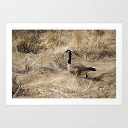 Canadian Goose. Art Print