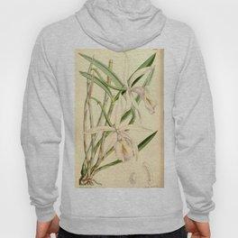 Cattleya intermedia (as Cattleya lindleyana) Curtis' 90 (Ser. 3 no. 20) pl. 5449 (1864) Hoody