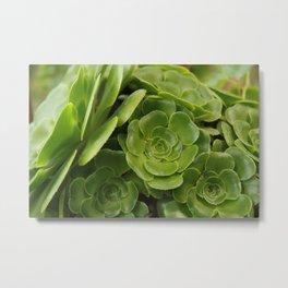 Aeonium plant 1838 Metal Print