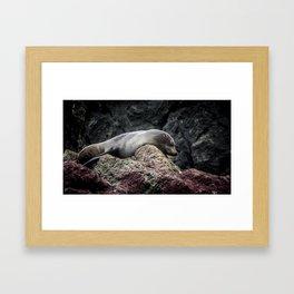 Seal at Cape Palliser, NZ Framed Art Print