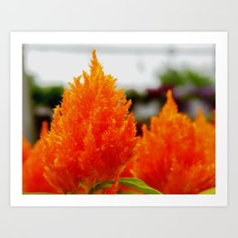 Fields of orange Art Print
