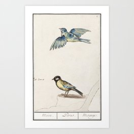 Blue tit cyanistes caeruleus and great tit parus major (1596-1610) by Anselmus Botius de Boodt Art Print
