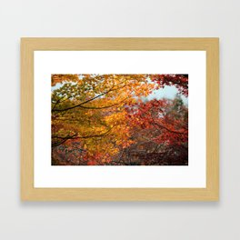 Colorful Japanese Maple Trees in Fall Photography Framed Art Print