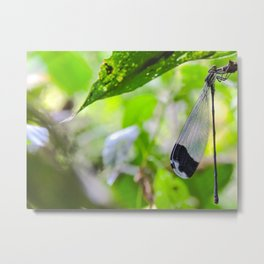 Damselfly Corcovado National Park, Costa Rica Metal Print