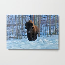 Staredown with bison Metal Print