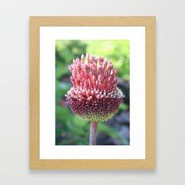 Close Up of An Ornamental Onion or Drumstick Allium Framed Art Print