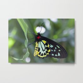 Cairns Birdwing Butterfly Metal Print
