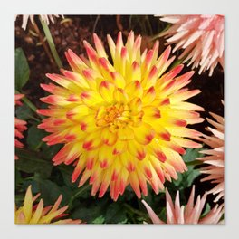 A Yellow Dahlia with Pink tips Canvas Print