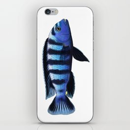 Malawi cichlids Chindongo saulosi male iPhone Skin