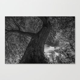 Crooked Oak (black and white) Canvas Print