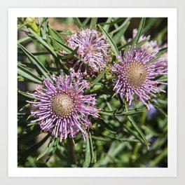 Protea Isopogon Kunstdrucke