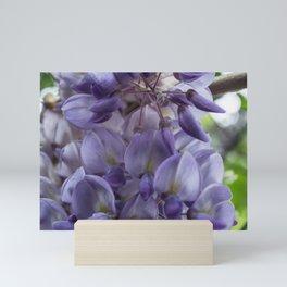Wisteria sinensis in bloom Mini Art Print