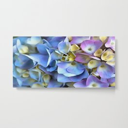 Blue and Pink Hydrangea Flowers  Metal Print