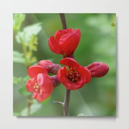 Red blossoms  in spring Metal Print