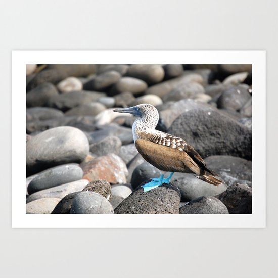 Blue Footed Booby 2 Art Print