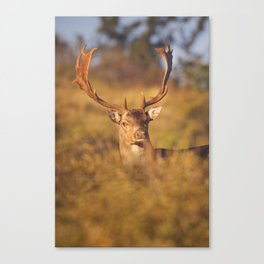Fallow deer in early morning sunlight in rut season Canvas Print