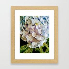 Colorful hydrangea close-up Framed Art Print