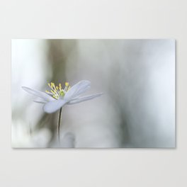 Adorable Wood Anemone... Canvas Print