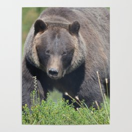 Brown Bear - Alaska Poster