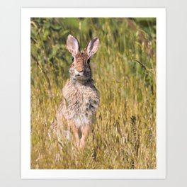 Cute and Curious Eastern Cottontail Rabbit in the Long Grass Art Print